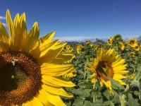 Sunflowers at Packer Farm Place