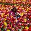 http://redtri.com/portland/family-guide-wooden-shoe-tulip-festival/