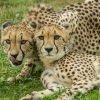 Cheetahs @ Zoo