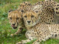 Cheetahs in the Predators of the Serengeti habitat at the Oregon Zoo. ©Oregon Zoo / photo by Kathy Street