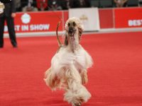 The Stumptown Cluster dog show