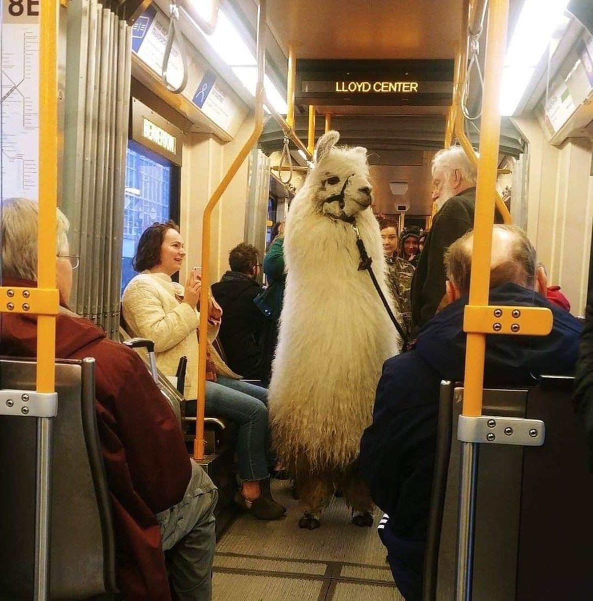 Portland In The News: Llama On The MAX; Blazers Stuck In