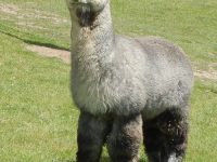 CABA alpaca show