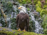 Bald Eagle in Eagle Canyon