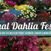 Swan Island Dahlia Festival-large image 2019