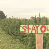 https://www.kgw.com/article/money/business/hemp-sauvie-island-oregon/283-7f0c3722-1625-43fe-b71f-5aa3b6df6ece