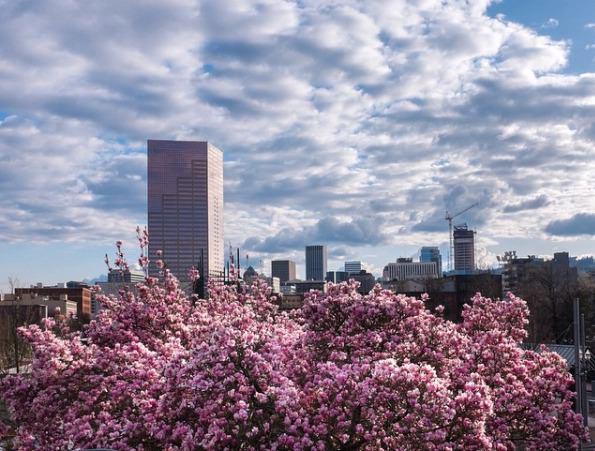 Portland.Spring.Cherry.Blossoms