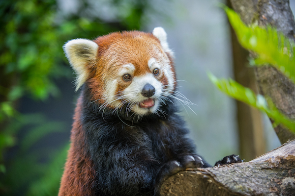 Red Panda Moshu in his habitat. © Oregon Zoo / photo by Michael Durham.